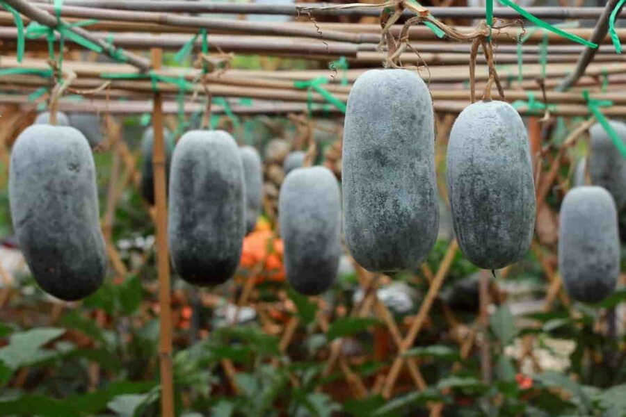 Winter Melon (Ash Gourd) for Intellect, Immunity, and Heart Health