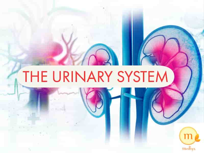 Urinary System Functioning and Organs