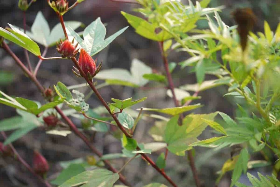 15 Gongura Leaves benefits for Liver, Heart and Immunity (with Recipes)